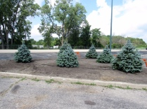 We planted several trees to help fill in an UGLY and UNINVITING space at the Town Center Plaza.
